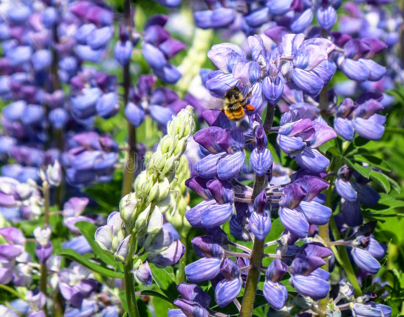 Nootka lupines and bee royalty free stock images