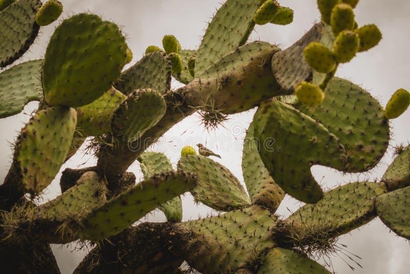 Nopal kaktus z du?o czupirzy w Meksyk obrazy stock