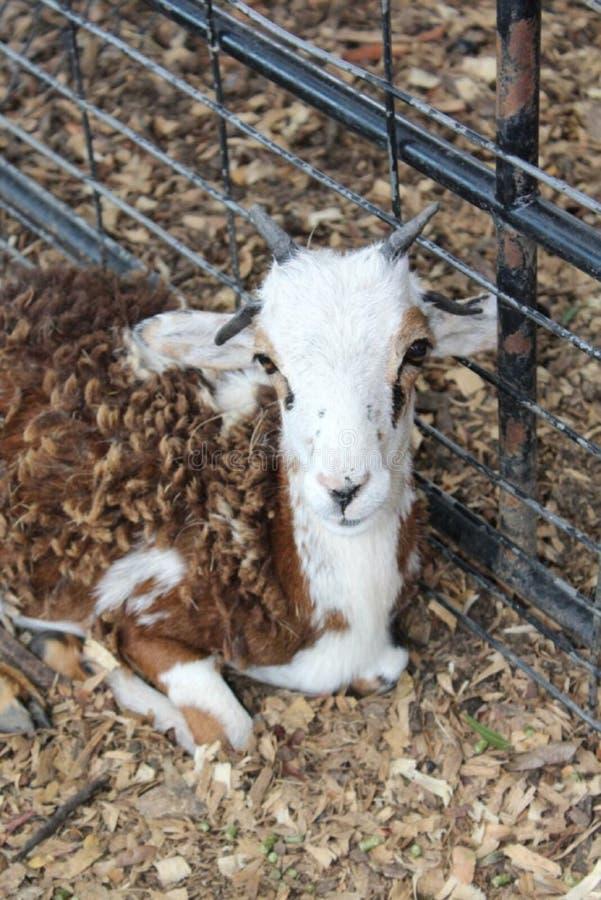 Nord à cornes le Texas de la chèvre quatre images libres de droits