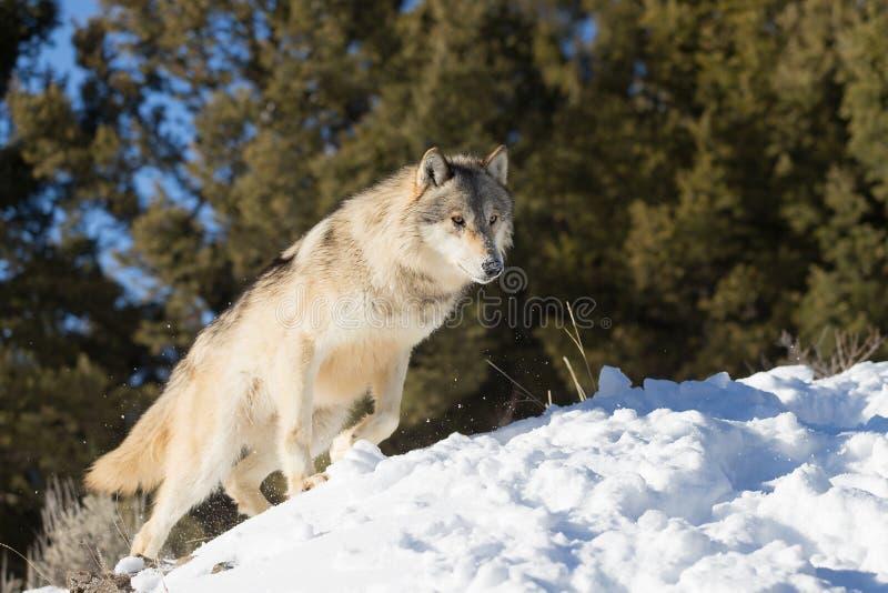 Nord-américain Grey Wolf dans la neige image stock