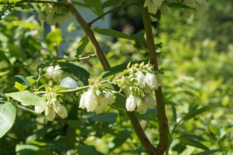 Nord-highbush Blaubeere während des Blühens und der Bindung der Frucht stockbilder