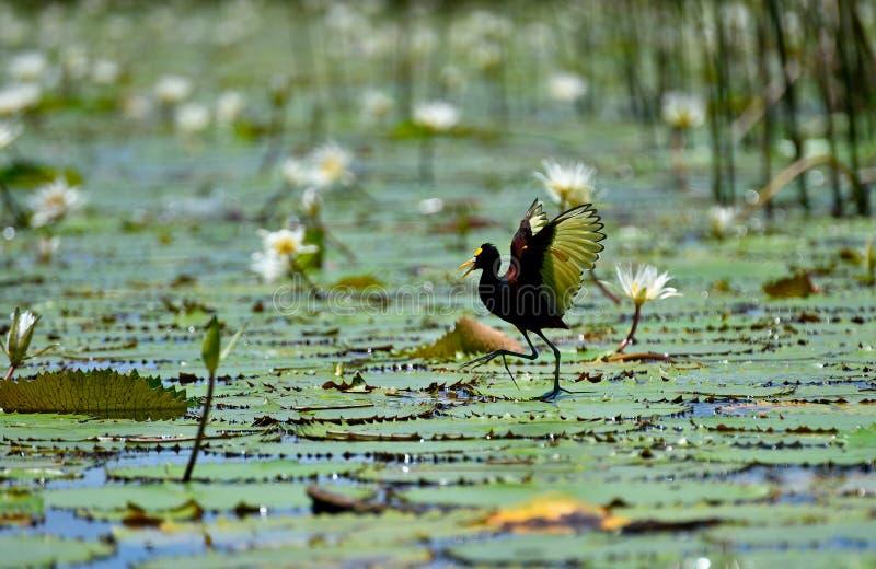 Nord-Jacana-Vogel stockfotos