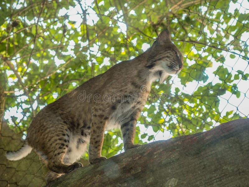 Nordamerikaner Bobcat Lynx Rufus lizenzfreies stockfoto