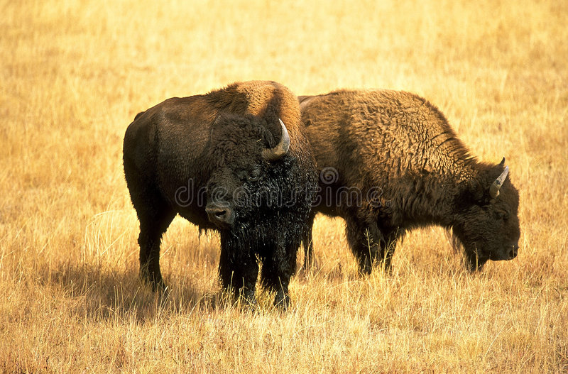 Nordamerikanischer Bison stockfoto