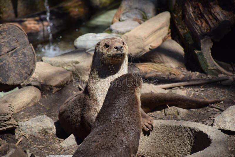 Nordamerikanischer Fluss-Otter (Lutra canadensis) stockfotos