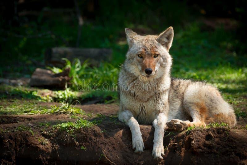 Nordamerikanischer Kojote (Canis latrans) lizenzfreies stockfoto