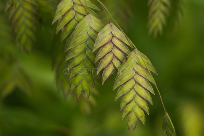 Norddekoratives Gras der seehafer-(Chasmanthium-latifolium) stockfotos