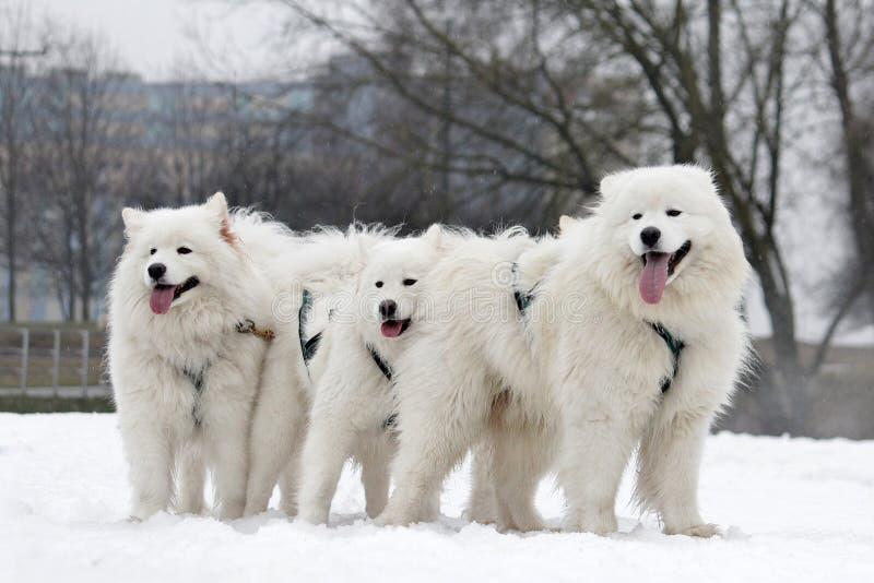 Nordentwurfshunde lizenzfreies stockfoto