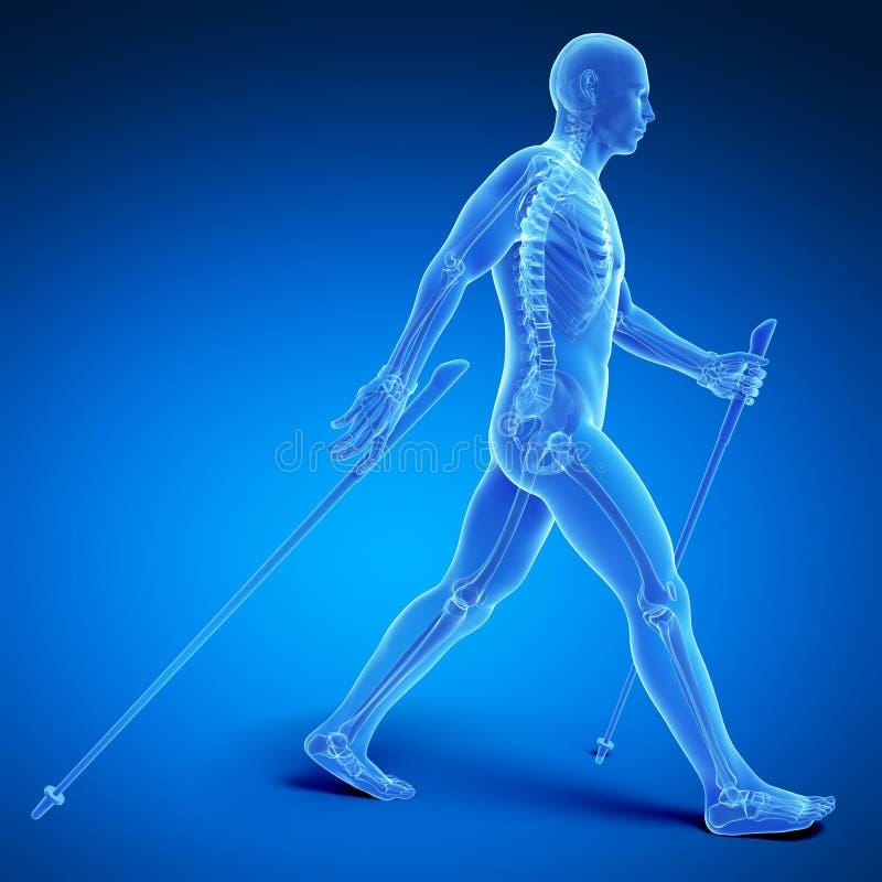 Nordic walking. 3d rendered medical illustration - nordic walking royalty free illustration