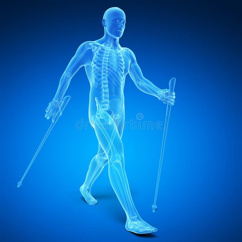 Nordic walking. 3d rendered medical illustration - nordic walking vector illustration