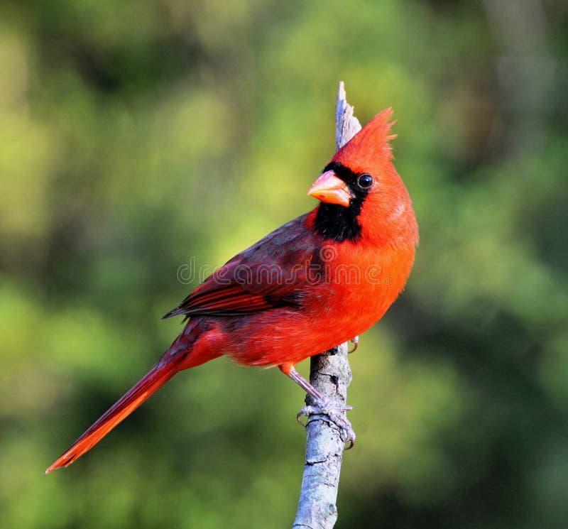nordico cardinale fotografia stock