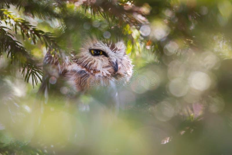 Nordico Sega-tenti Owl Hiding In Dense Foliage fotografia stock