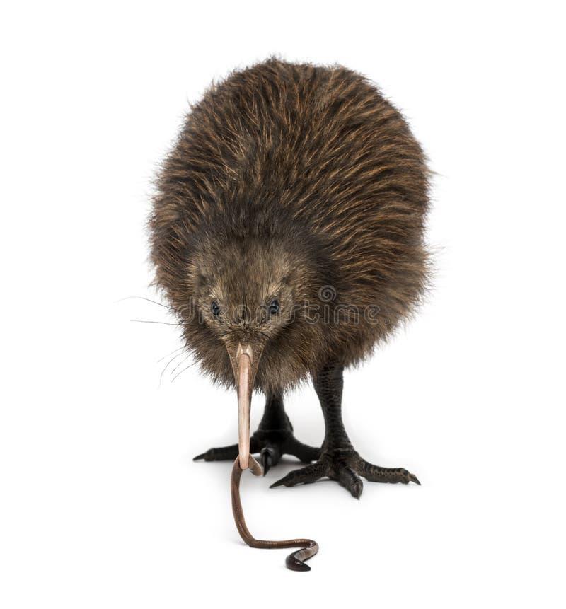 Nordinsel-Brown-Kiwi, die ein Regenwurm Apteryx mantelli isst stockfoto