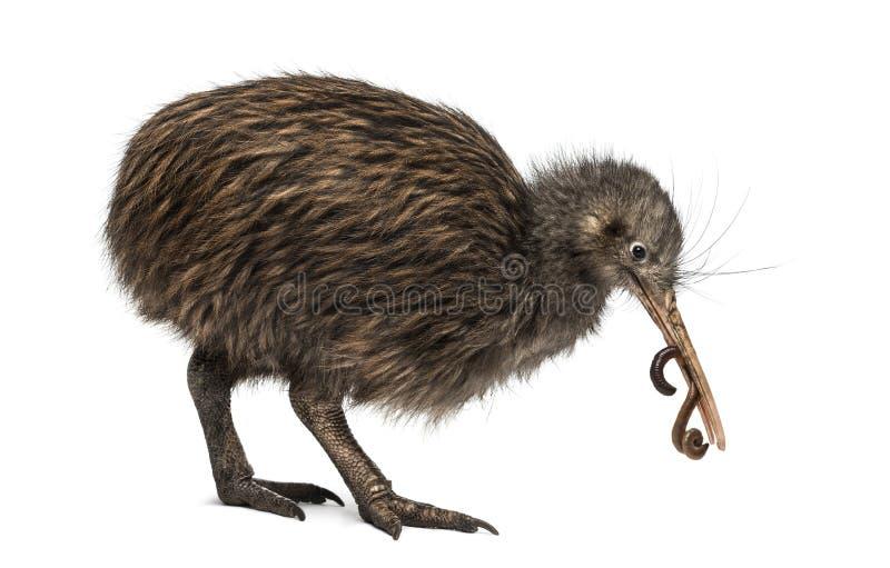 Nordinsel-Brown-Kiwi, die ein Regenwurm Apteryx mantelli isst lizenzfreies stockbild