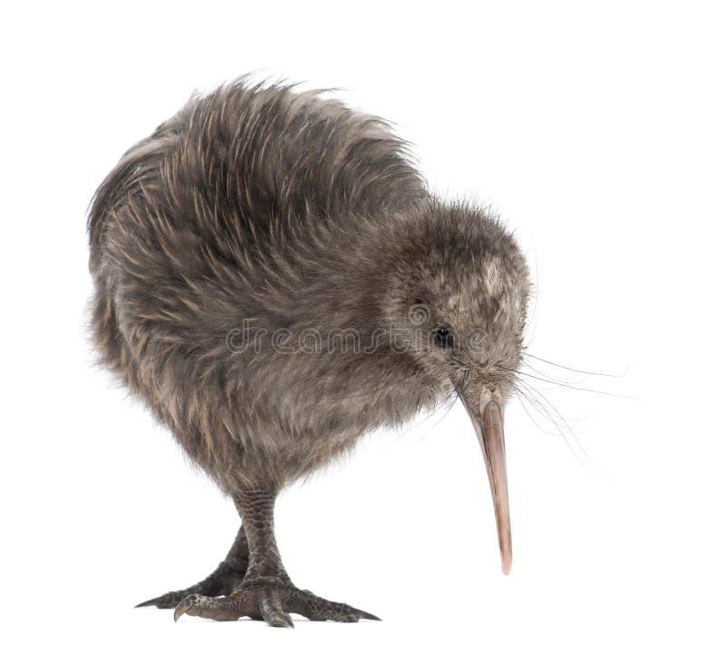 Nordinselbrown-Kiwi, Apteryx mantelli stockfoto
