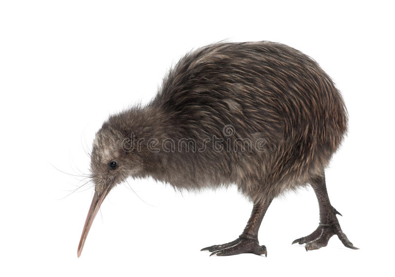 Nordinselbrown-Kiwi, Apteryx mantelli lizenzfreies stockbild