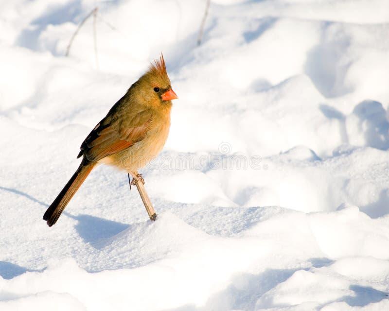 nordique femelle cardinal photo libre de droits
