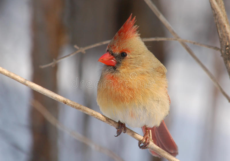 nordique femelle cardinal images libres de droits