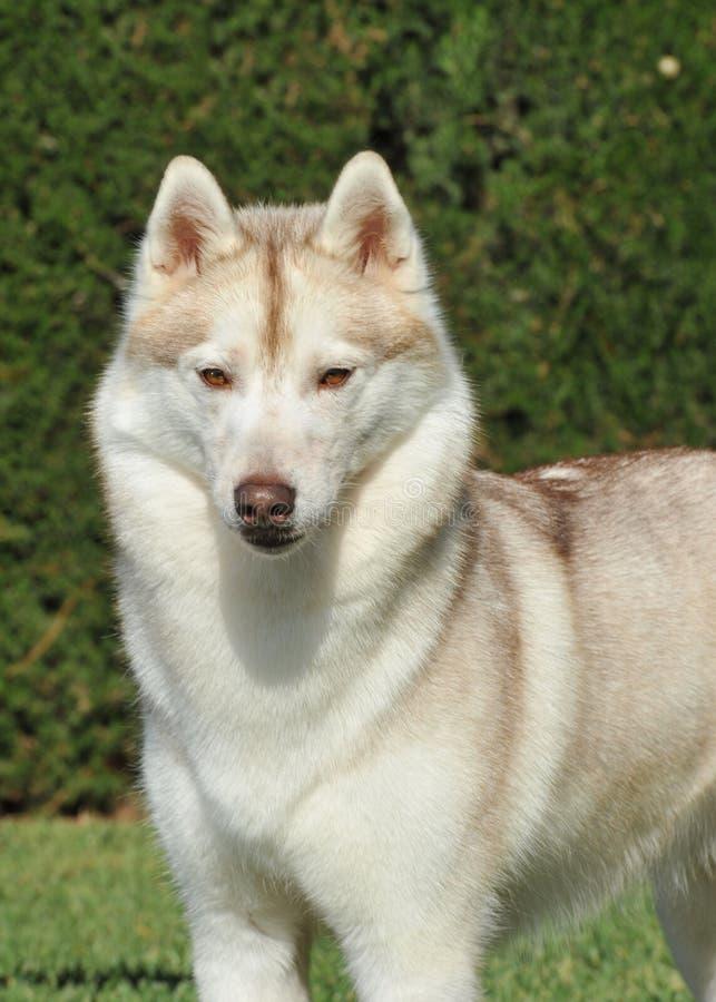 Nordische reine Zucht des sibirischen Huskys stockbild