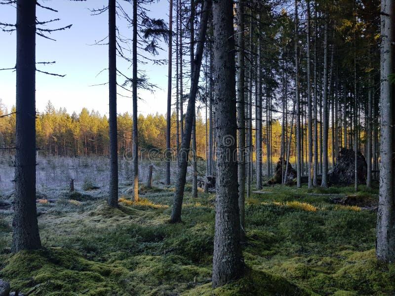 Nordischer Fall pinetree Wald lizenzfreie stockbilder