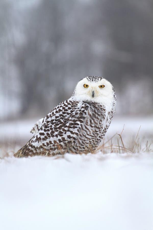 Nordisk uggla på snö royaltyfri bild