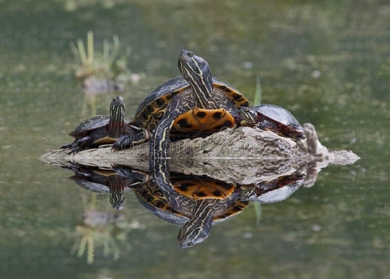 Nordkarten-Schildkröte und Mittelländische Zierschildkröten, die auf einem Klotz sich aalen stockfoto