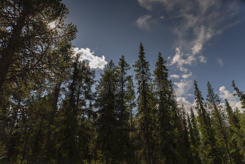 Nordlan-Nadelbäume und blaue Himmel in Lappland stockbild