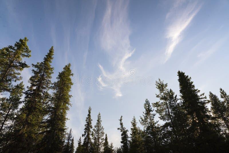 Nordland-Nadelbäume mit blauen Himmeln stockfoto