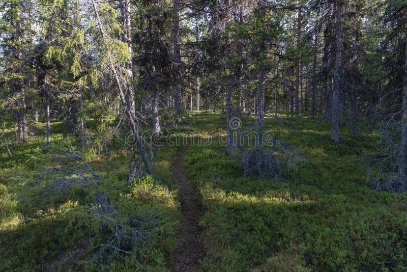 Nordland spruces and pines in Swedish Lapland royalty free stock photos