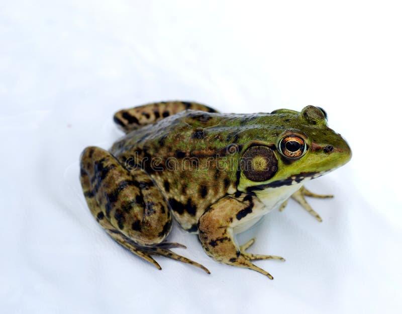 Nordleopard-Frosch stockfotos