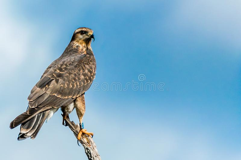 Nordlig engelsk harhund eller Marsh Hawk royaltyfria foton
