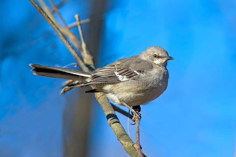 nordlig härmfågel fotografering för bildbyråer