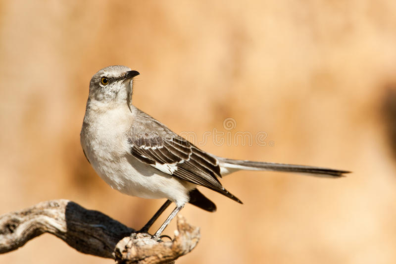 nordlig härmfågel arkivbild