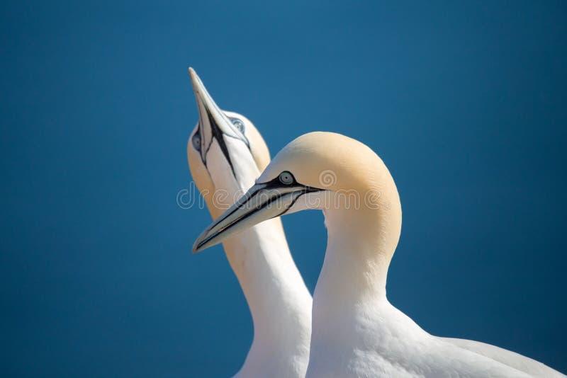 Nordlig havssula, förälskade fåglar royaltyfria foton