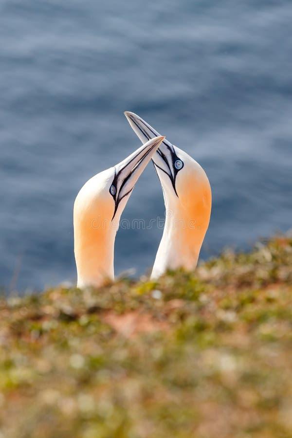 Nordlig havssula, Helgoland Tyskland arkivbilder