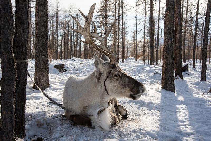 Nordlig hushjort sitter på snön arkivbilder
