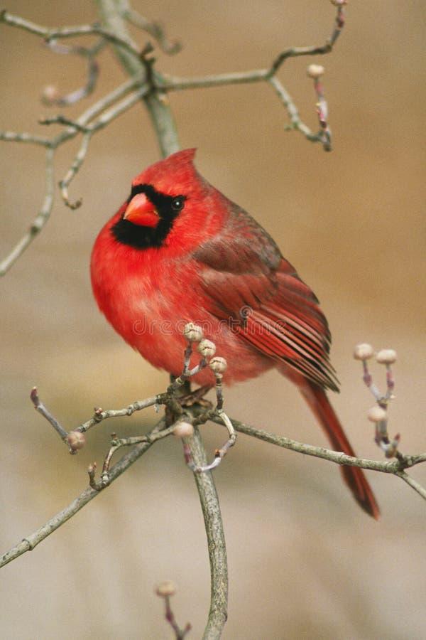 nordlig kardinal royaltyfria foton