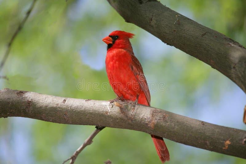 nordlig kardinal royaltyfri foto