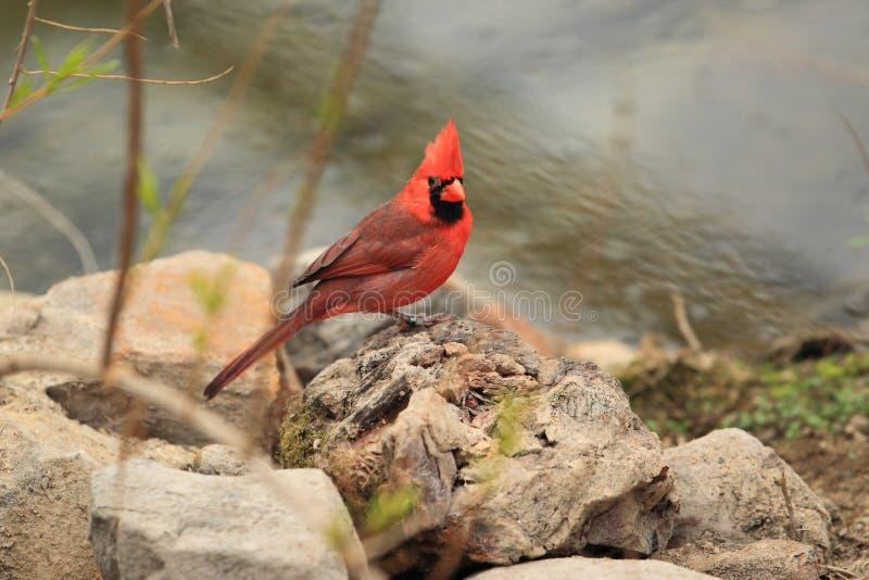 Nordlig kardinal royaltyfria bilder