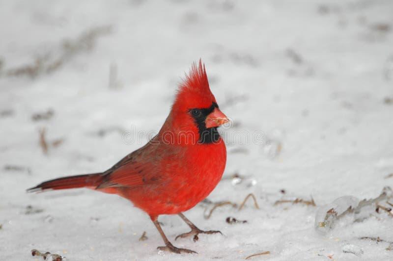 nordlig kardinal arkivfoton
