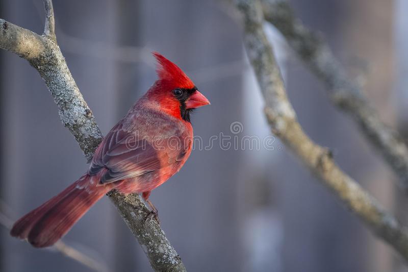 Nordlig kardinal arkivbilder