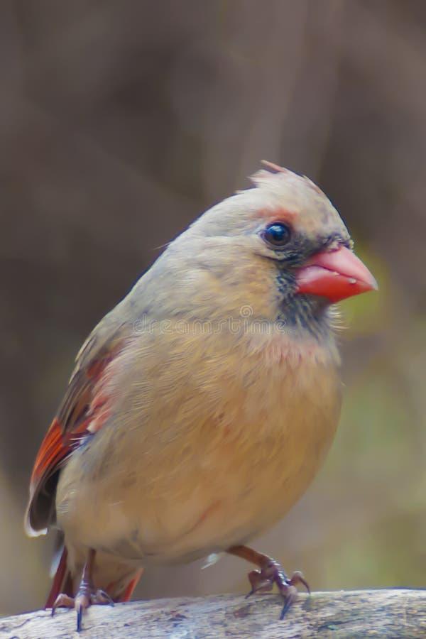 Nordlig kardinal (kvinnlign) royaltyfria foton