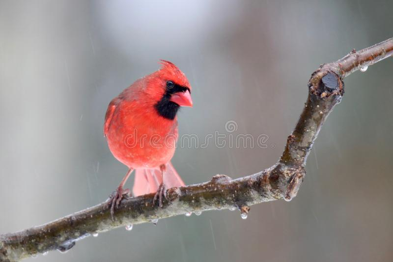 Nordlig kardinal på en iskall dag i vinter royaltyfri bild
