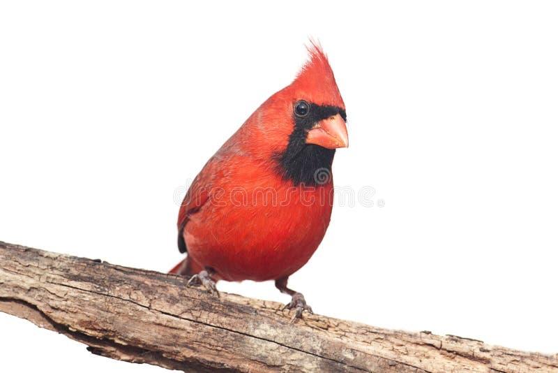 Nordlig kardinal On White arkivbilder