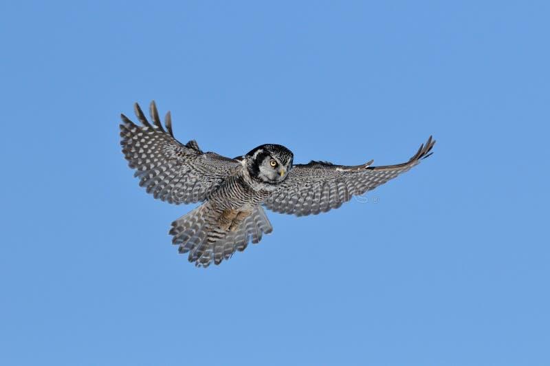 nordlig owl för hök royaltyfri bild