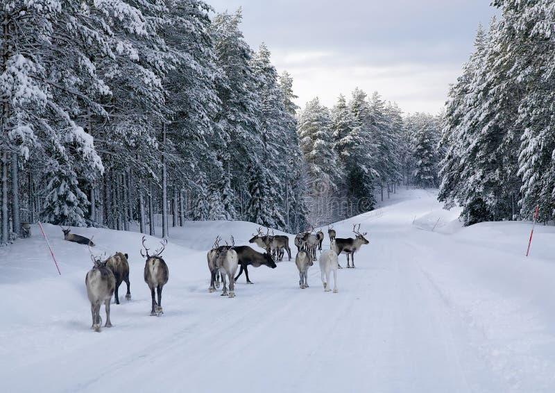 nordlig renväg sweden royaltyfri fotografi