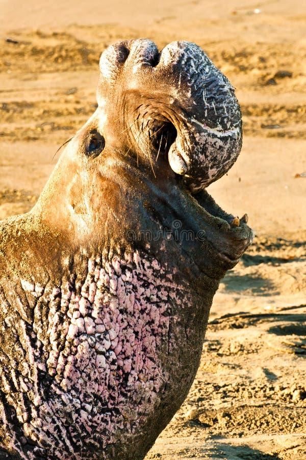 nordlig skyddsremsa för elefant royaltyfri foto
