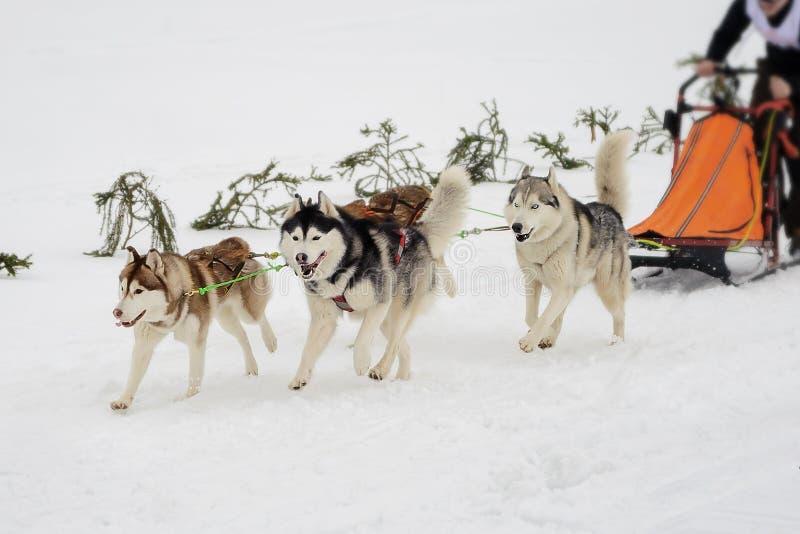 Nordlig slädehundkapplöpning royaltyfri fotografi