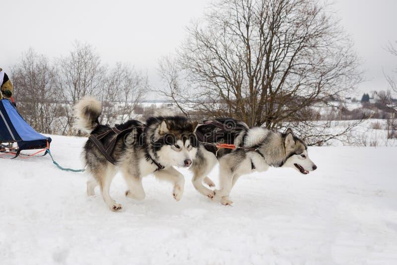 Nordlig slädehundkapplöpning arkivbild