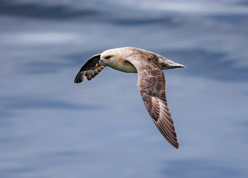 Nordlig stormfågel i flykten nära Longyearbyen, Svalbard, Norge royaltyfria foton